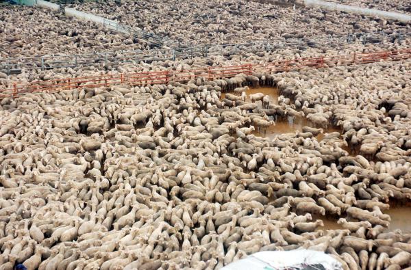 sheep+wool+truth+cruel